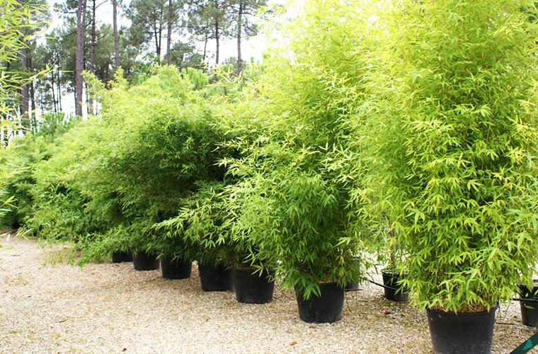 Vente bambous pépinière La Palmeraie de Mios