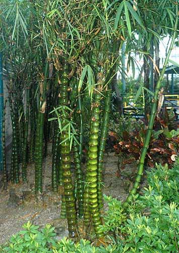 Vente de bambusa - Pépinière La Palmeraie de Mios sur le bassin d'arcachon