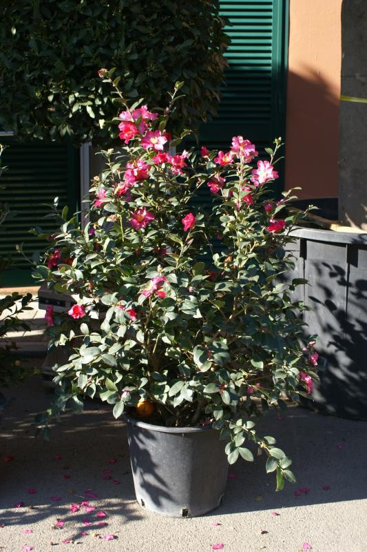 Vente de camellia - Pépinière La Palmeraie de Mios sur le bassin d'arcachon
