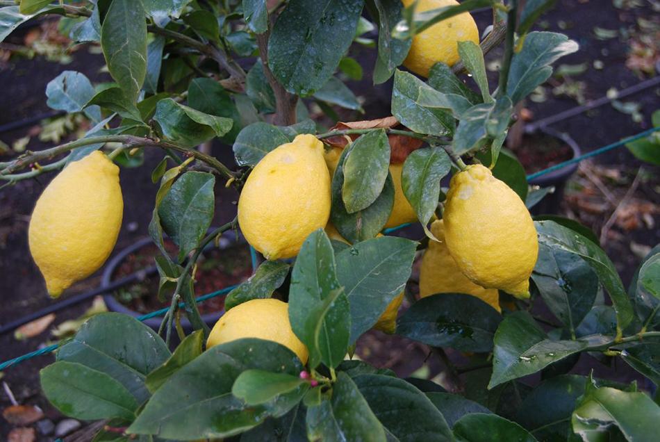 Vente de citrus rutacées - Pépinière La Palmeraie de Mios sur le bassin d'arcachon