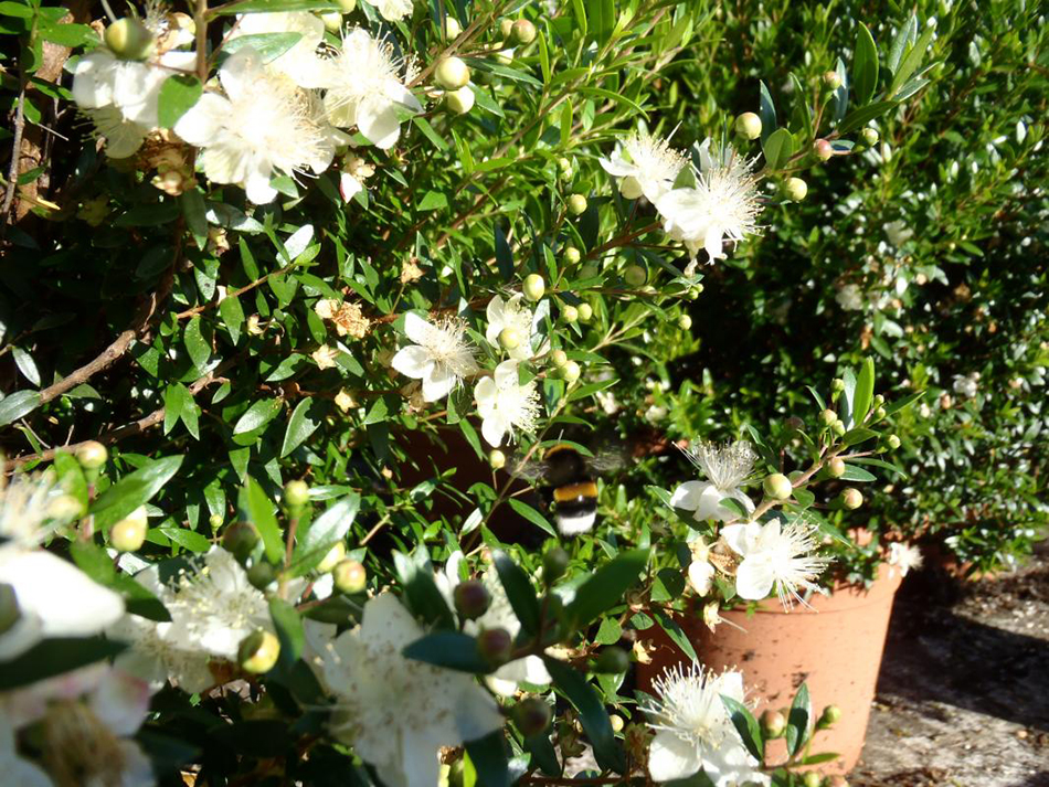 Vente de myrtus myrtacées - Pépinière La Palmeraie de Mios sur le bassin d'arcachon