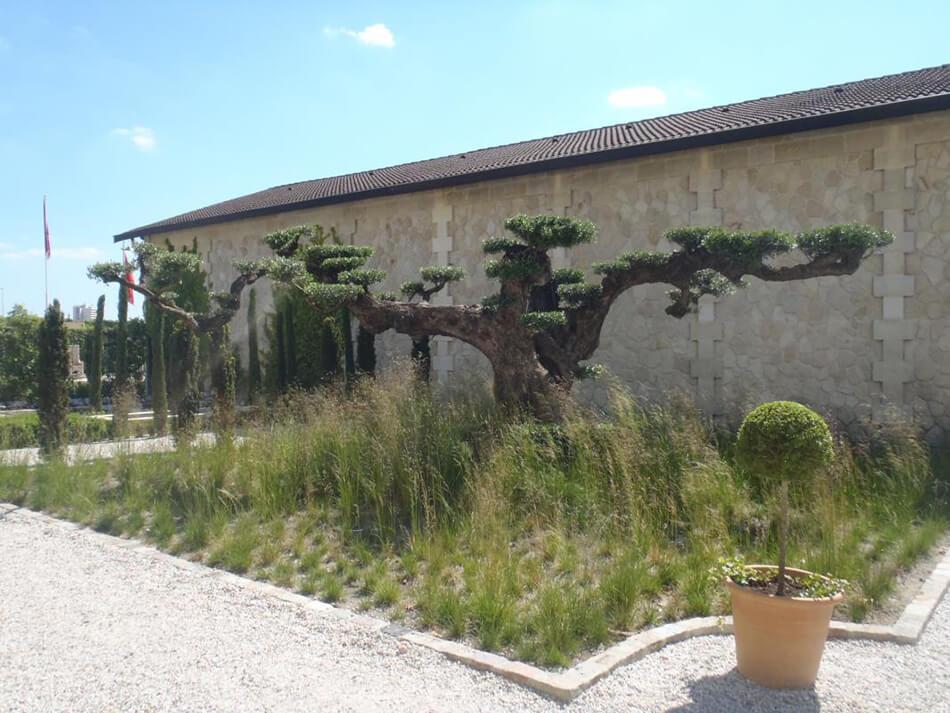 olivier-bonsai-1