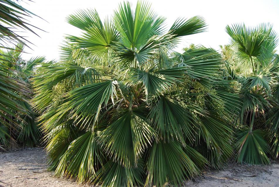 Vente de palmiers bhahea arecacées - Pépinière La Palmeraie sur le bassin d'arcachon
