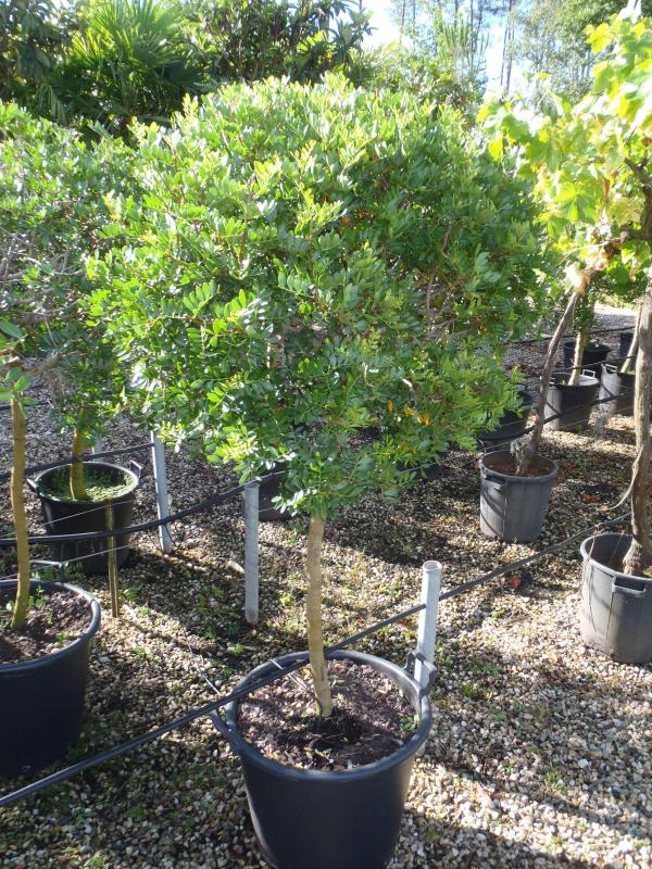 Vente de pistacia anarcadiacées - Pépinière La Palmeraie de Mios sur le bassin d'arcachon