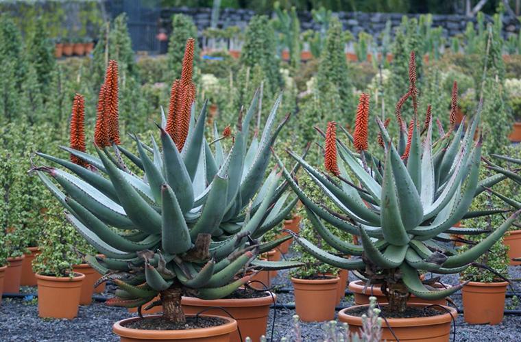 Vente plantes grasses pépinière La Palmeraie de Mios