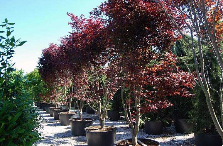 vente plantes de terre de bruyere pépinière La Palmeraie