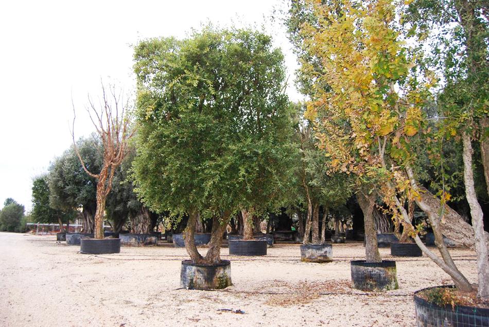 Vente de quercus fagacées - Pépinière La Palmeraie de Mios sur le bassin d'arcachon