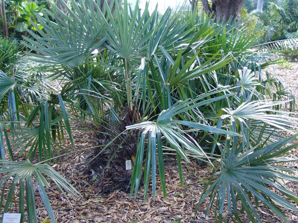 Vente de rhapidophyllum arecacées - Pépinière La Palmeraie de Mios sur le bassin d'arcachon