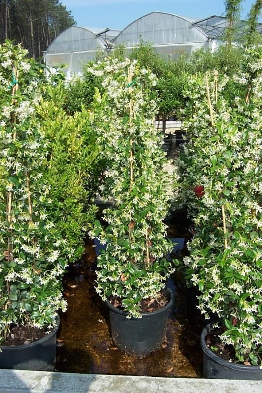 Vente de rhyncospermum apocynacacées - Pépinière La Palmeraie de Mios sur le bassin d'arcachon