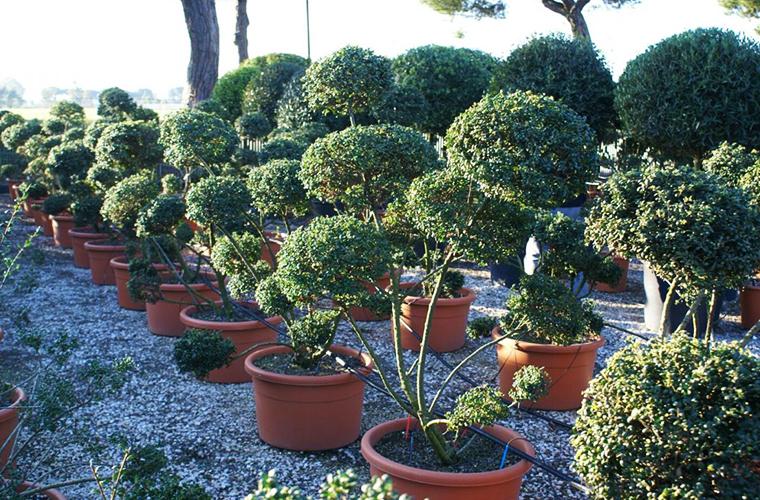 Vente topaires et macro bonsaïs pépinière La Palmeraie de Mios