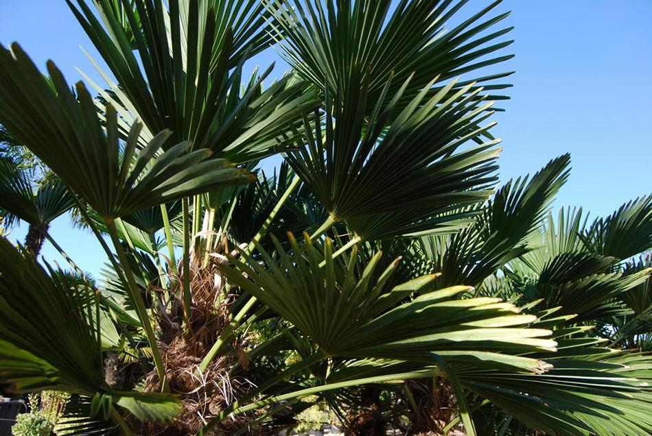Vente de trachycarpus arecaées - Pépinière La Palmeraie de Mios sur le bassin d'arcachon